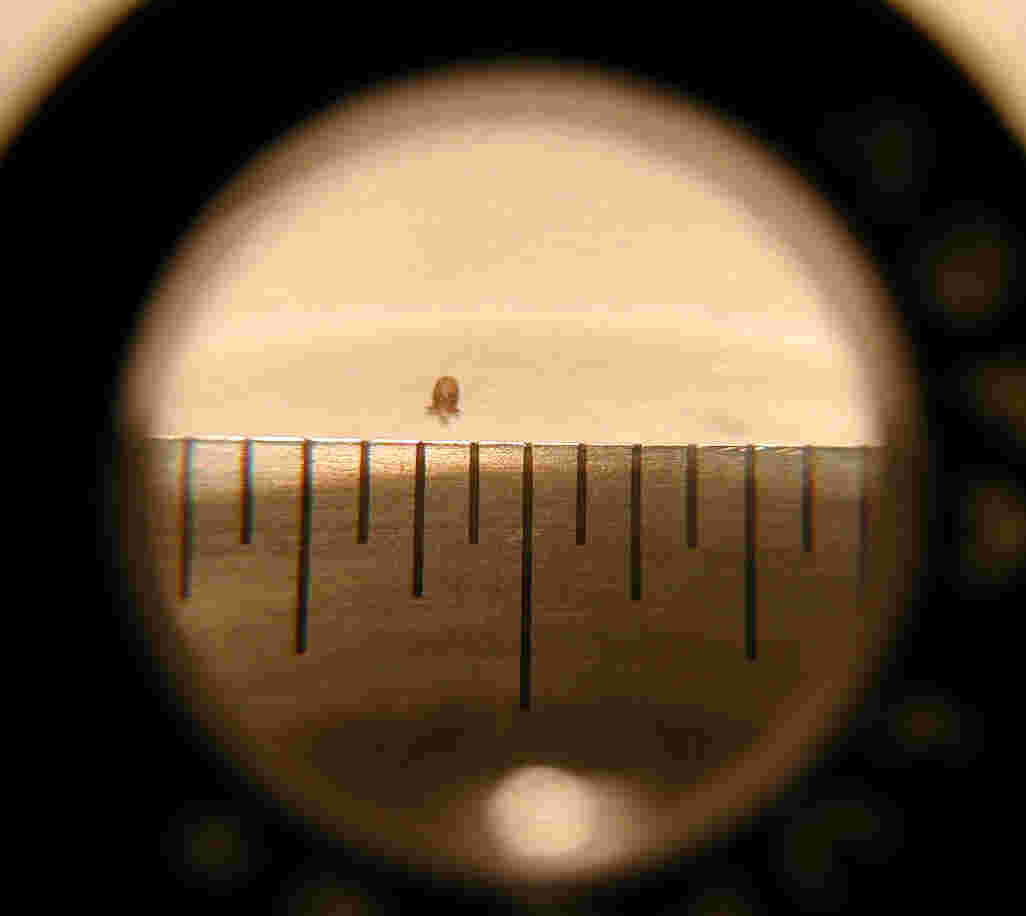 The 'ant' as seen through a lupe; lines are 1/32-inch apart.  Photo by FCG.
