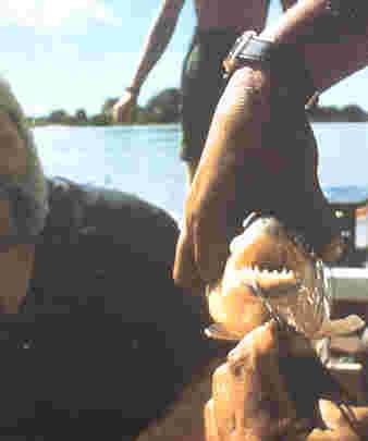 Piranha, similiar in size to the one I caught -- picture from a 1996/1997 Latour tour book.